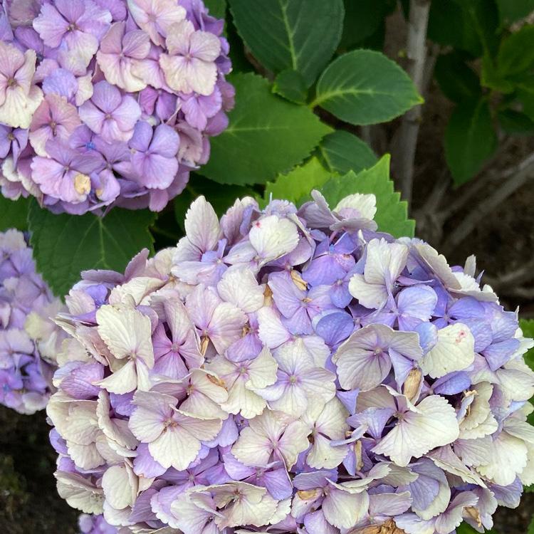 遠藤聡子 別注 小倉織帯地「紫陽花」のイメージ